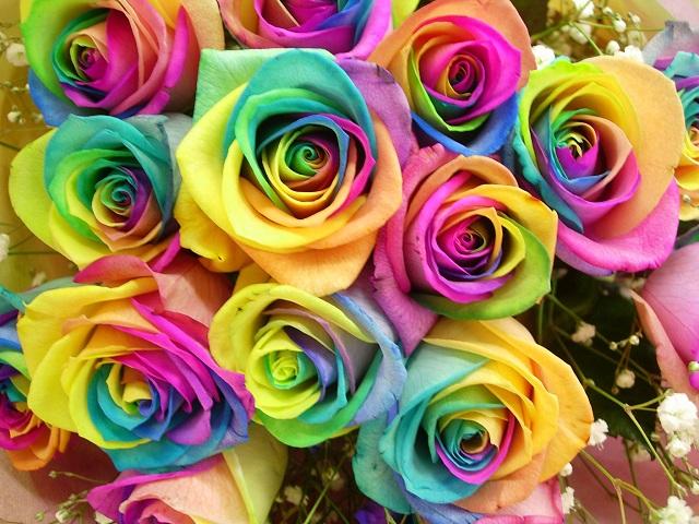 Как выращивают радужные розы