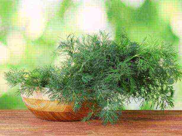 можно ли выращивать укроп в домашних условиях зимой