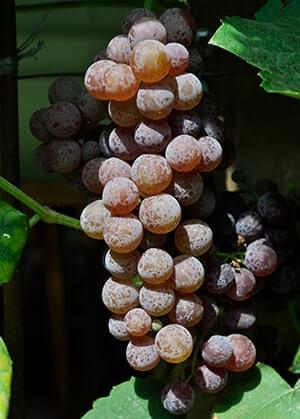 Виноград рилайнс пинк сидлис описание сорта фото отзывы