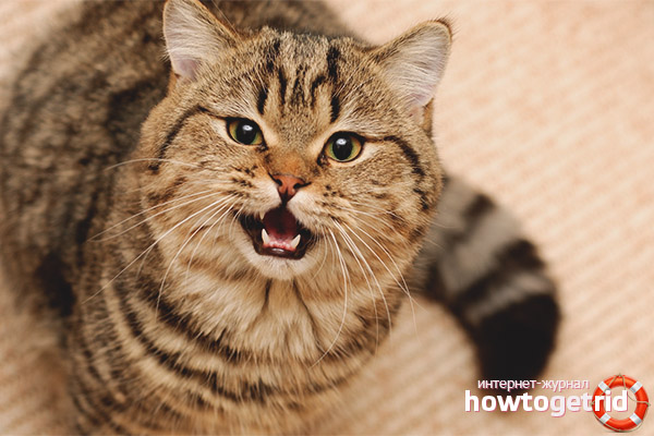 Почему кошка стала агрессивной по отношению к хозяину