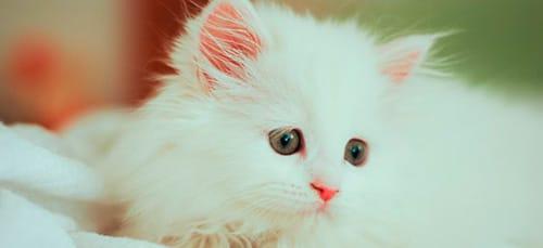 К чему снится белый котенок