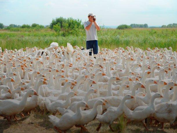 Выращивание гусей как бизнес в домашних условиях