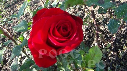 Роза селена фото описание