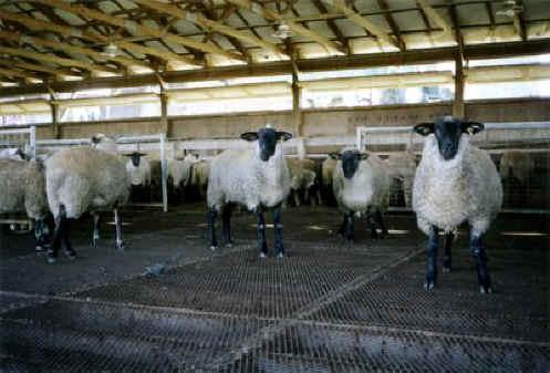 Мини ферма для овец