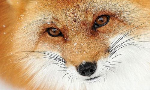 К чему во сне видеть лису