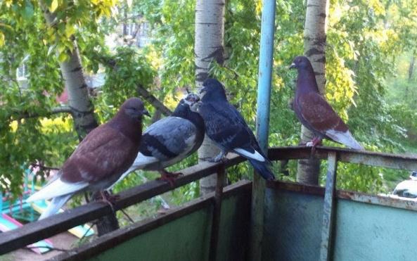 Какой запах отпугивает голубей