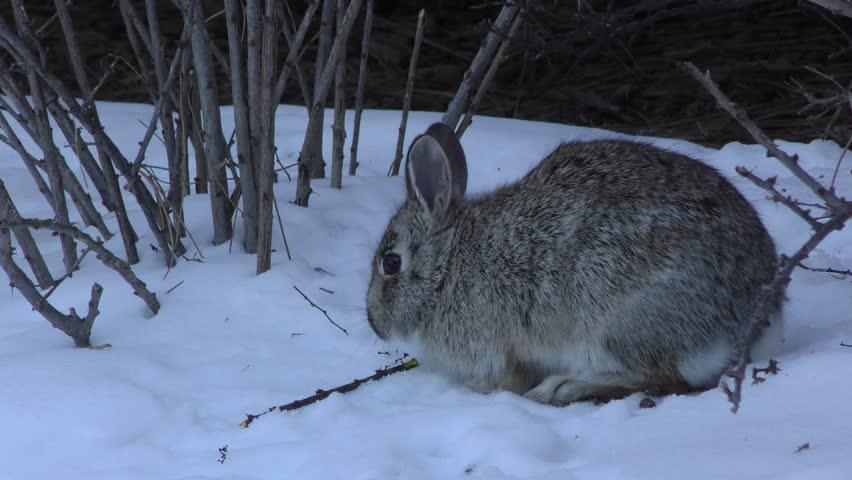 Adult rabbit video