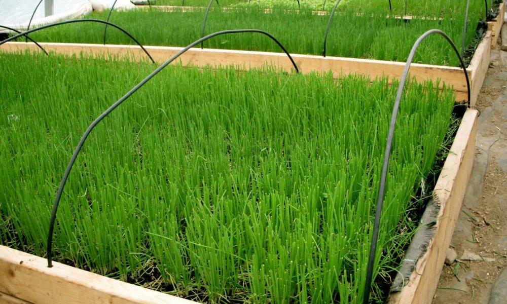 Выращивание зеленого лука бизнес идея