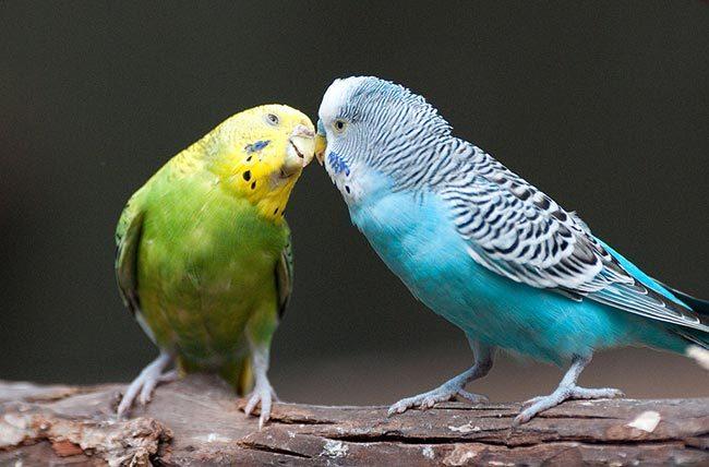 Самка и самец волнистого попугая