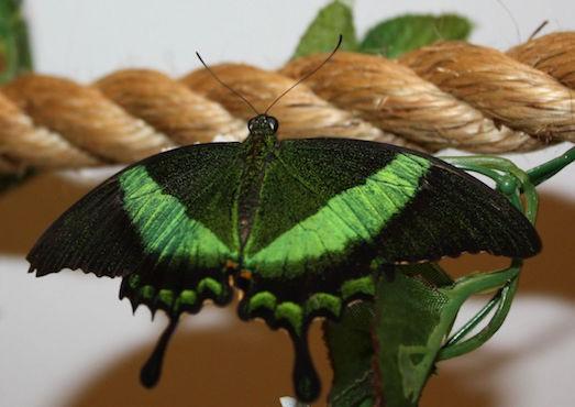 Бабочки домашние