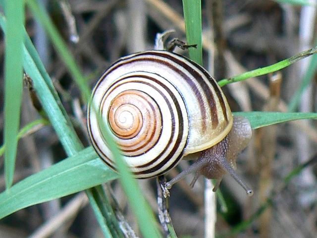 Canadian snails