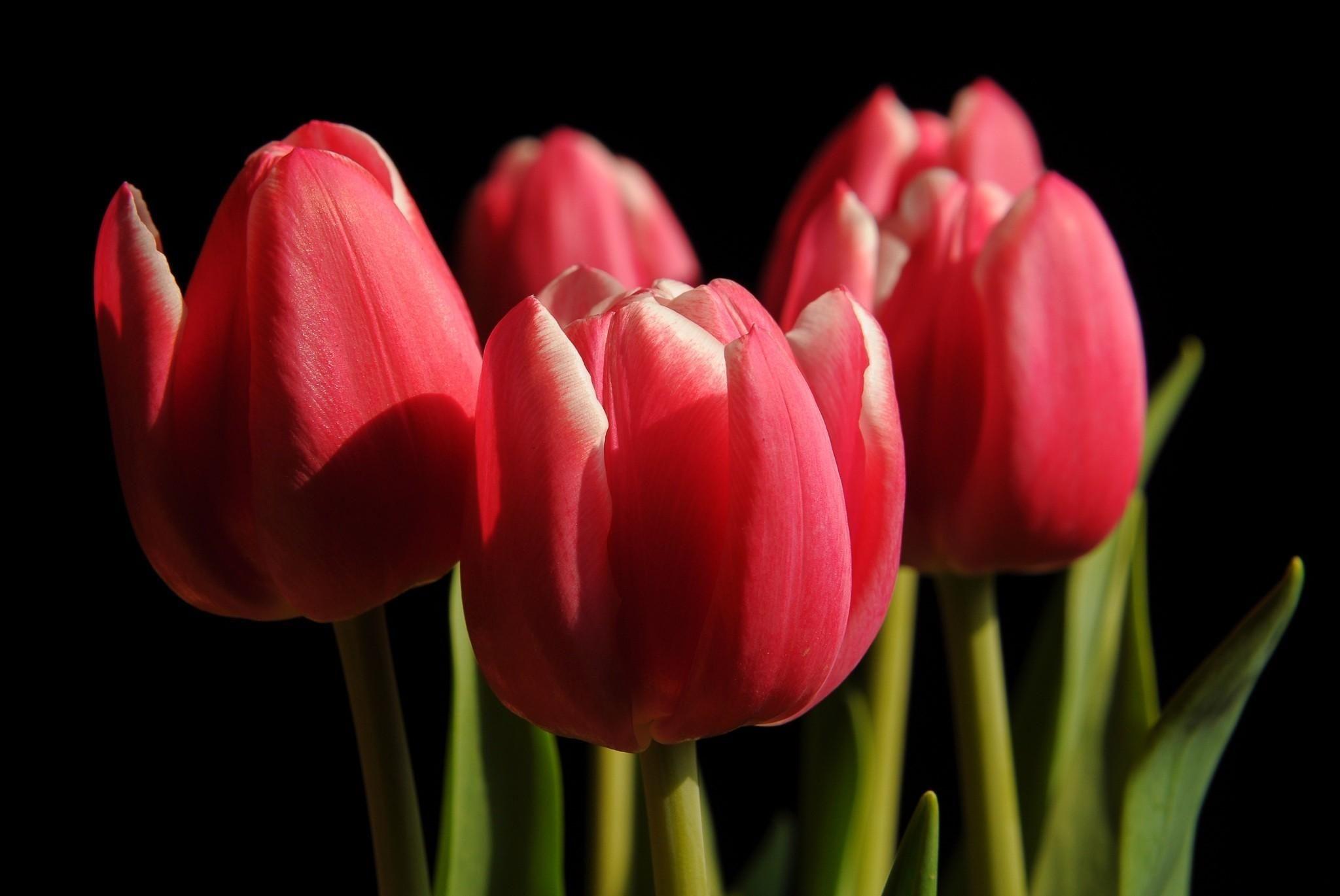 Тюльпаны высаживают осенью