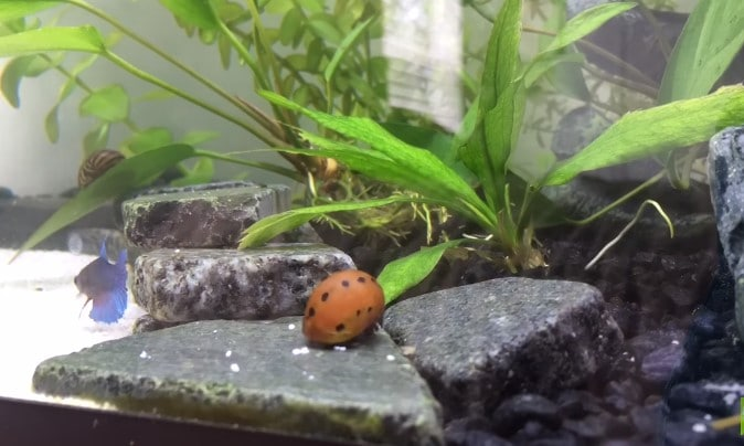 Fresh water aquarium snails