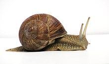 Garden snails nz