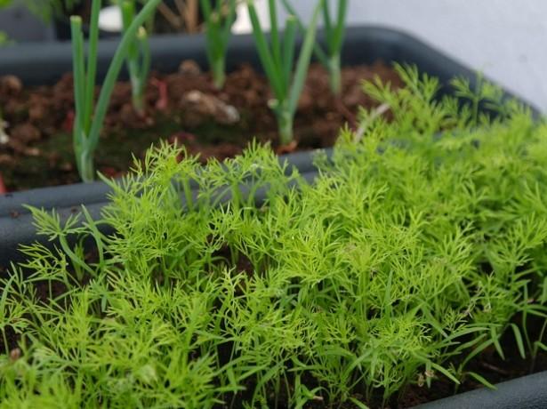 Через 14–20 дней после первого посева высевают следующую партию семянЧерез 14–20 дней после первого посева высевают следующую партию семян
