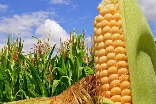 Урожайность кукурузы с 1 га
