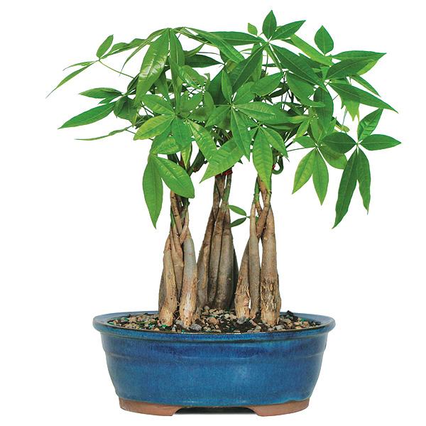 Money Tree Grove Bonsai Tree
