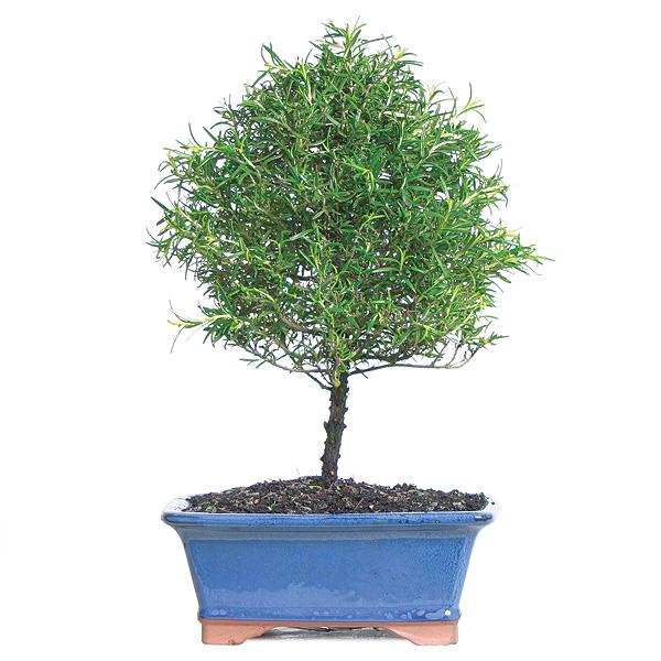 Rosemary Bonsai Tree