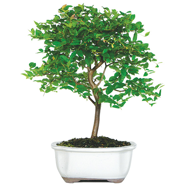Jaboticaba Bonsai Tree