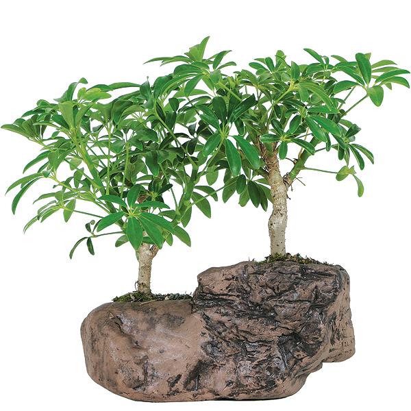 Hawaiian Umbrella Bonsai Tree In Rock Pot