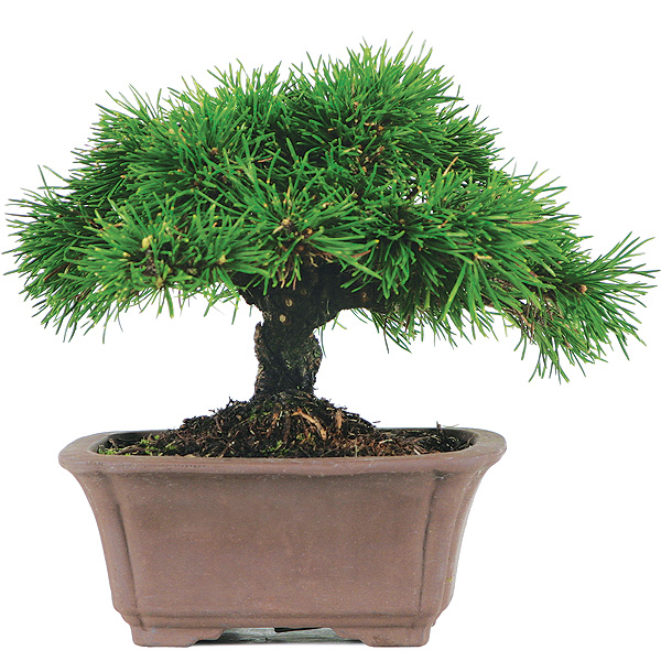 Dwarf Mugo Pine Bonsai Tree
