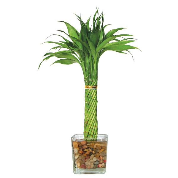 Lucky Bamboo - Elegant Twist