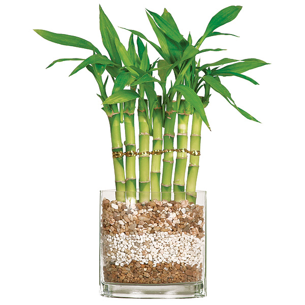 Lucky Bamboo - 7 Stalk Fence