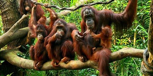 Во сне много обезьян
