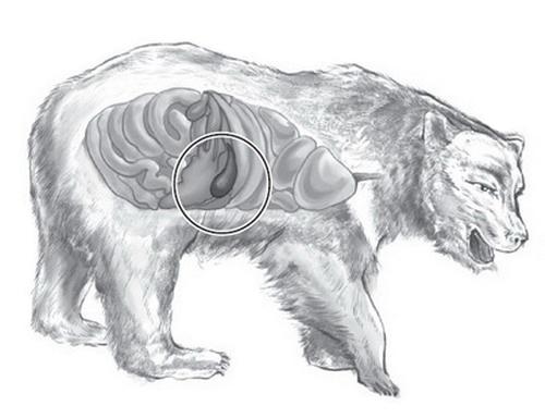 Фото желчь медвежья