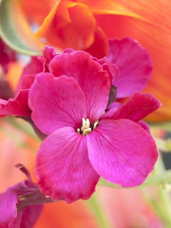 Pink wallflower seeds