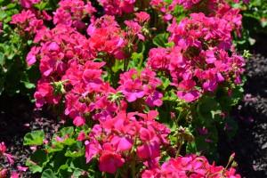 Geranium orbit hot pink