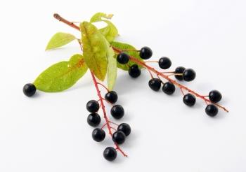 Полезные свойства ягоды черемуха