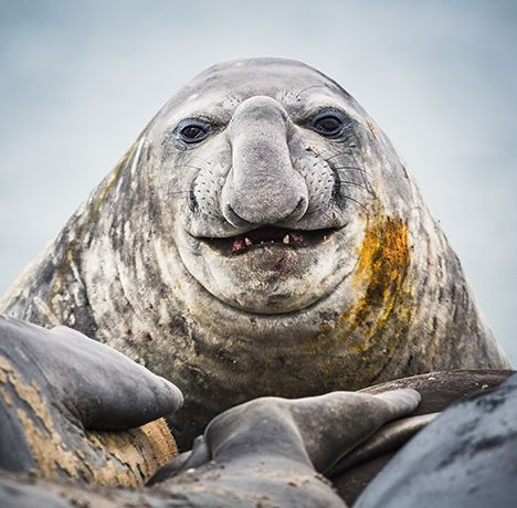 Ugly seal