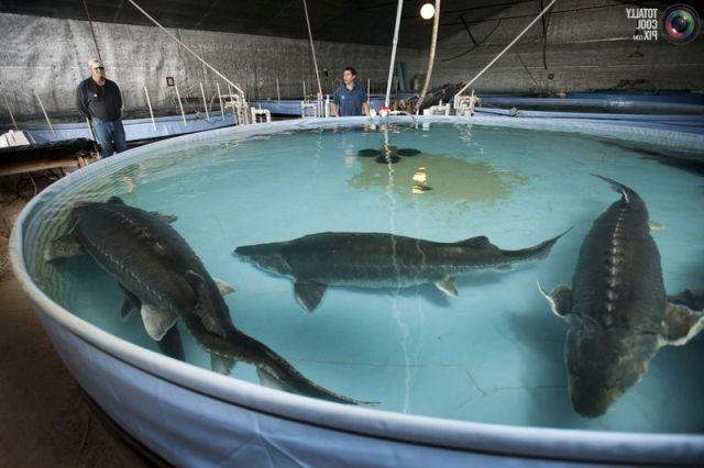 Бизнес по разведению рыбы в домашних условиях