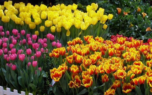 Когда высаживать луковицы тюльпанов осенью в подмосковье