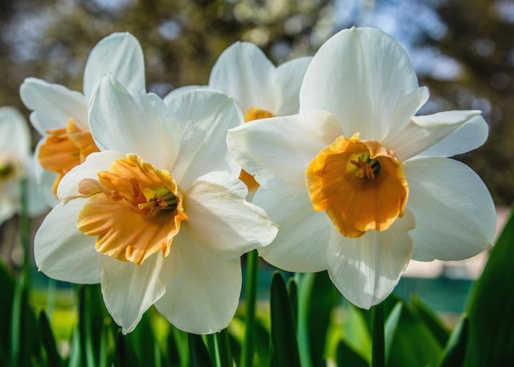 Daffodils A Summer Breeze Steemit