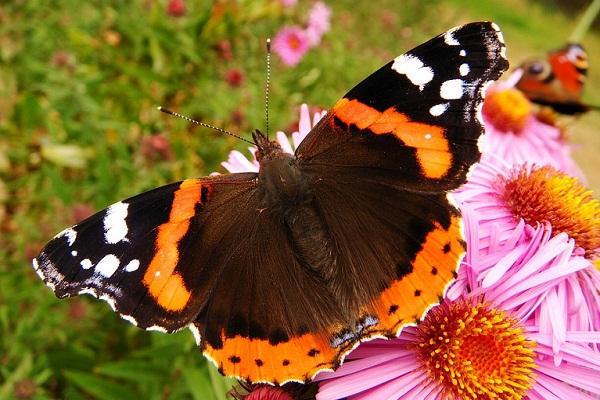 К чему снятся бабочки большие