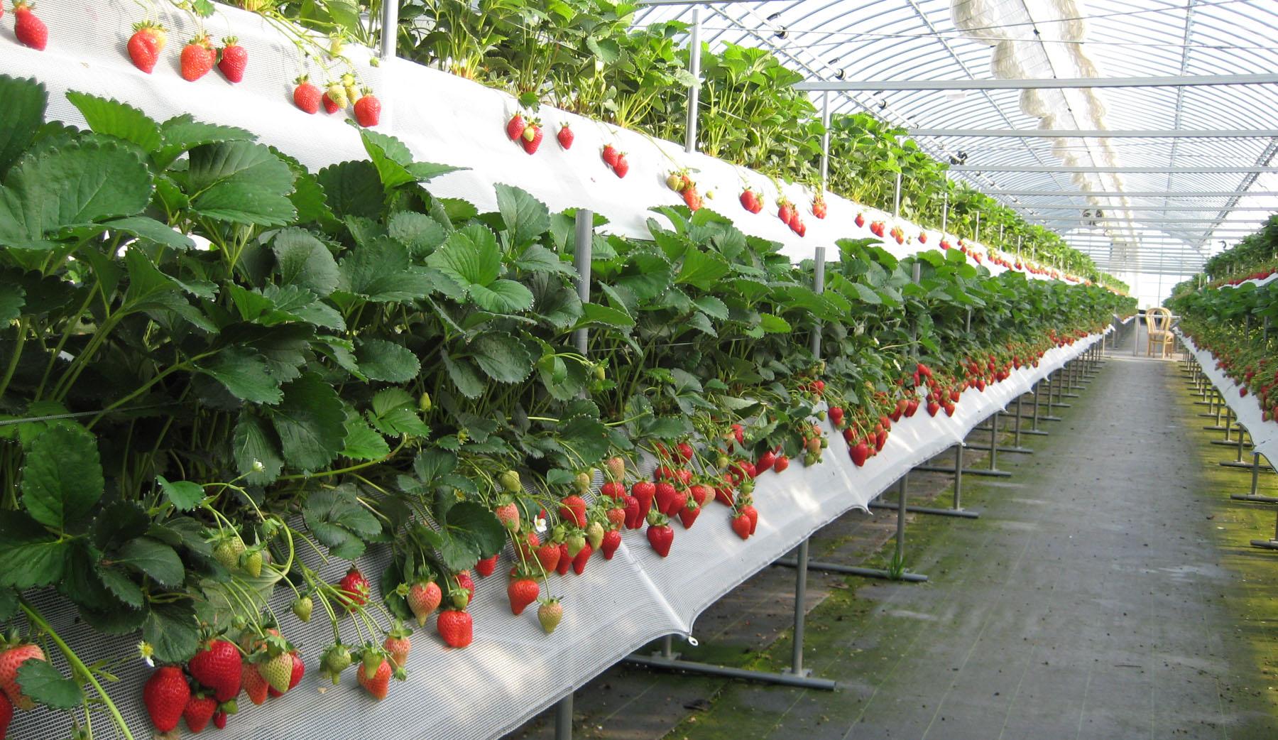 Бизнес выращивать клубнику круглый год в домашних условиях