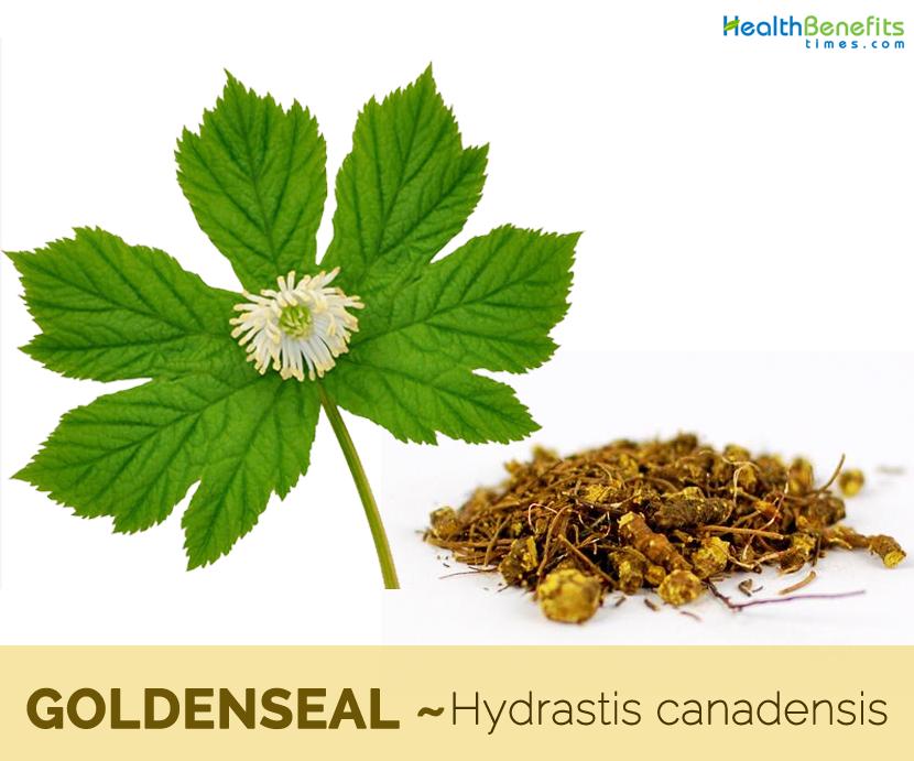 17 benefits of Goldenseal (Orangeroot)