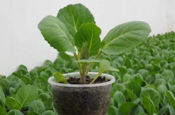 Посев рассады капусты