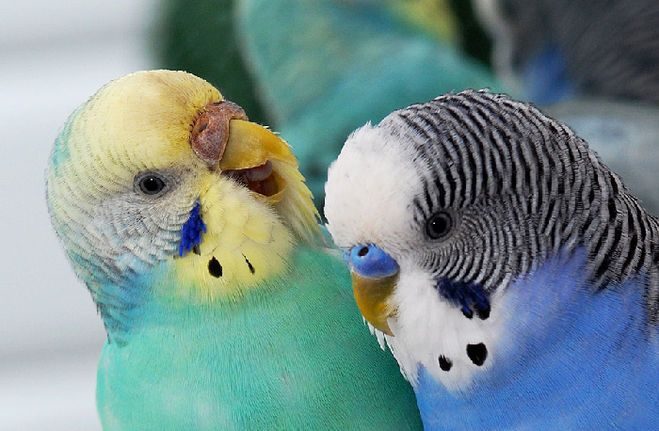 Чем отличаются мальчик и девочка попугаи
