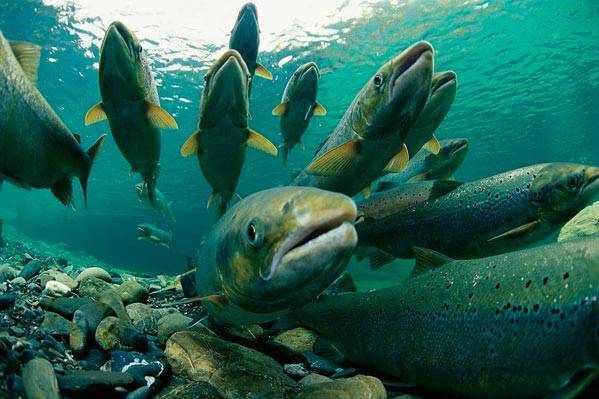 Разведение лосося в домашних условиях видео