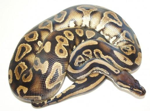 Boa constrictor Snakes snake reptile scaled reptile boas boa constrictor serpent