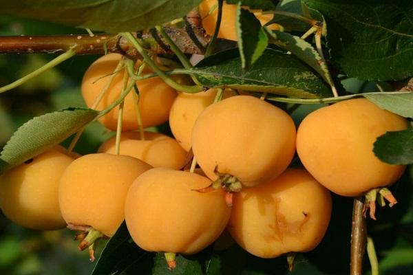 Райские яблочки варенье рецепт