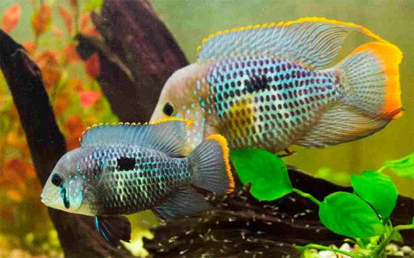 Акара бирюзовая совместимость с другими рыбами таблица