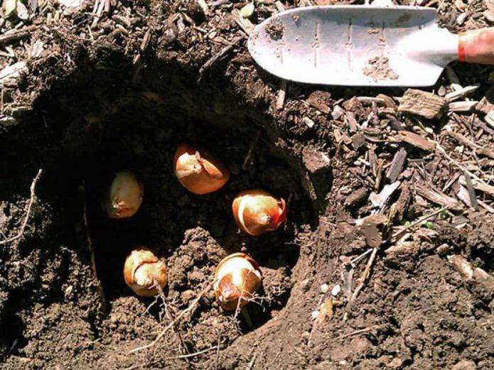 Высадка луковиц