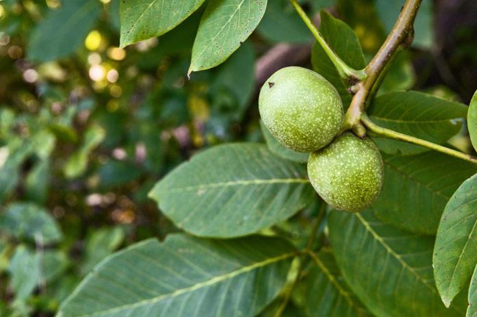 Полезные свойства листьев ореха грецкого