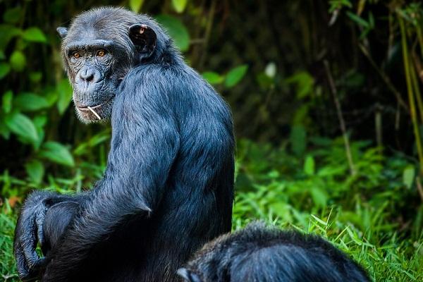Сонник к чему снится обезьяна