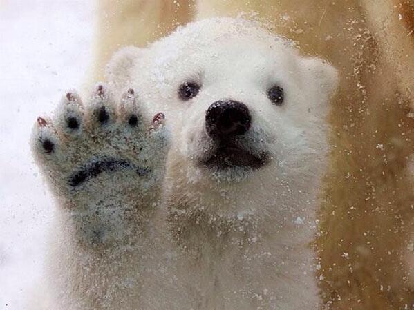 Polar bear toenails