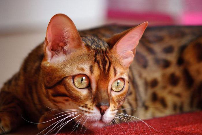 К чему к дому прибивается кошка
